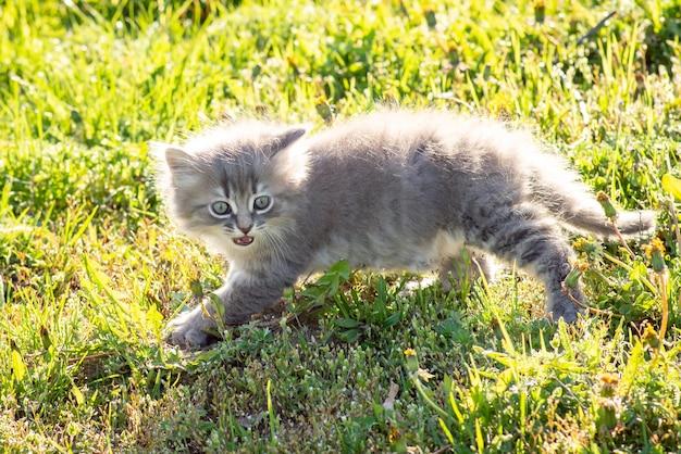 Klein grijs katje kijkt opzij en miauwt