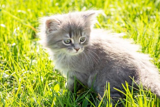 Klein grijs katje zit op gras en kijkt terug