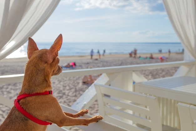 Klein hondje zit op een stoel en kijkt naar een strand