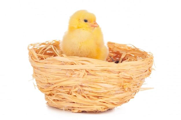 Klein kuiken in nest