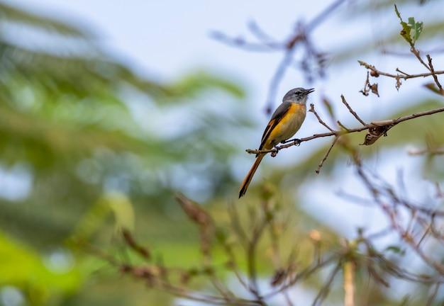 Klein minivetmannetje dat op de tak in thailand neerstrijkt