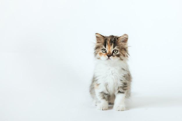 Klein pluizig driekleurig schots katje