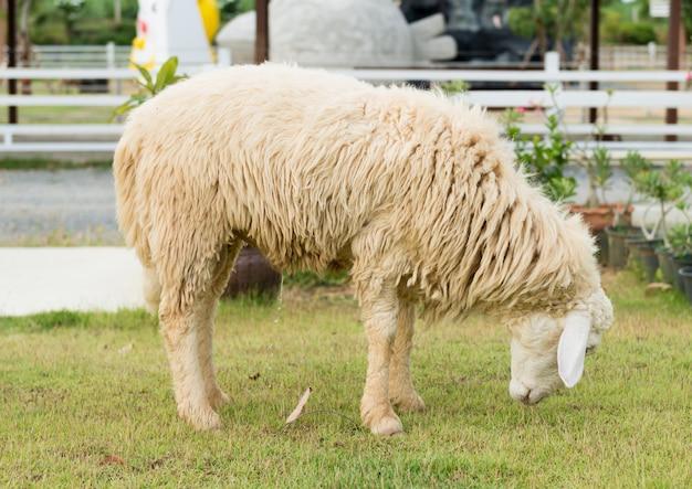 Klein schaap