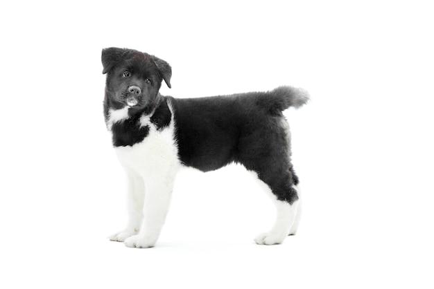 Klein schattig amerikaans akita puppy