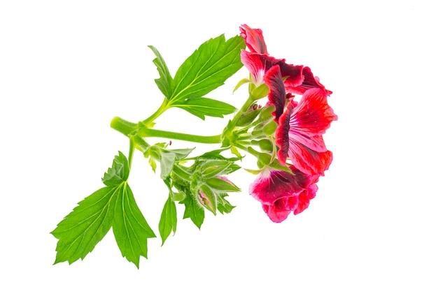 Klein takje met roze pellargoniumbloem met groene bladeren die op wit worden geïsoleerd