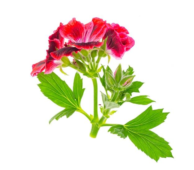Klein takje met roze pellargoniumbloem met groene geïsoleerde bladeren