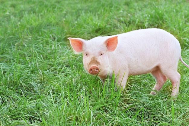 Klein varken dat op witte achtergrond wordt geïsoleerd