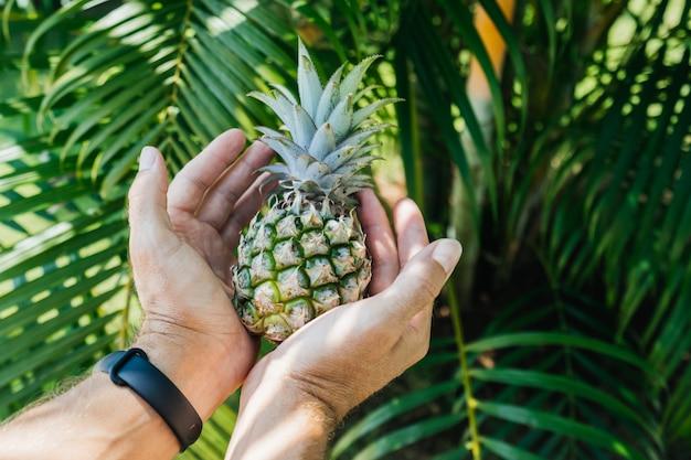 Kleine ananas in de palmen van een man tegen op een tropische groene bladeren van een palmboom.