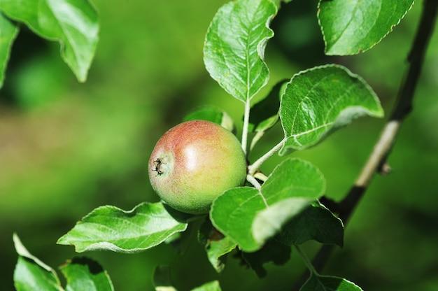 Kleine appel op een appelboom die barst van rijpheid