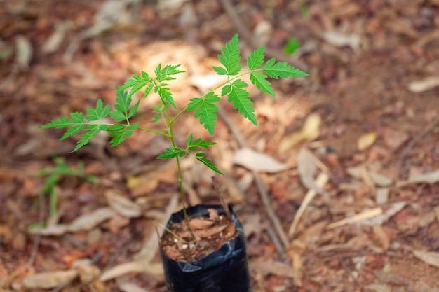 Kleine azadirachta indica neem zaaien