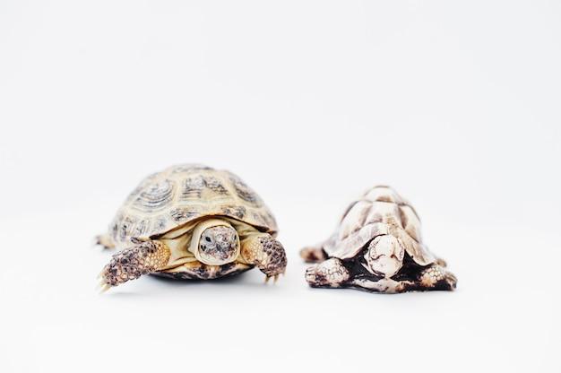 Kleine aziatische schildpad over land met steenstandbeeld dat op wit wordt geïsoleerd.