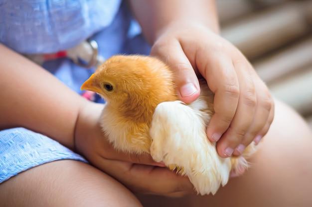 Kleine baby kip in de handen van een meisje