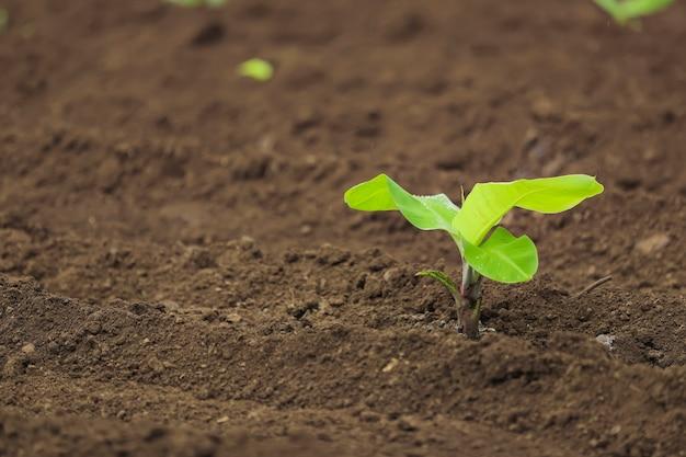 Kleine bananenplant in de grond