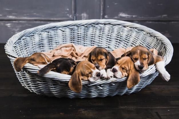 Kleine beagles in grote mand