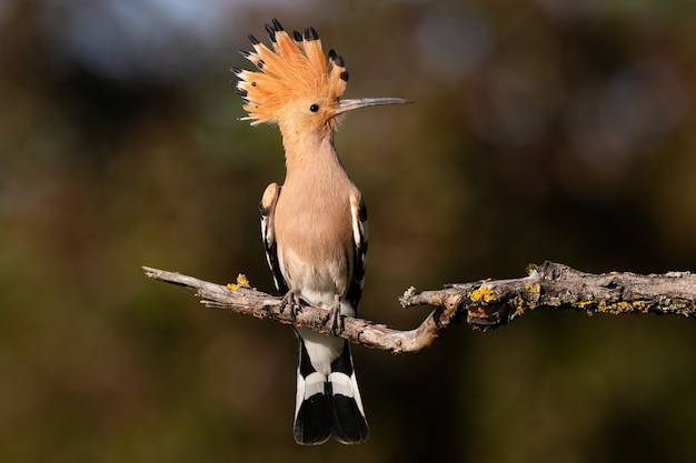 Kleine beige en oranje vogel met hoge kam zittend op een boomtak
