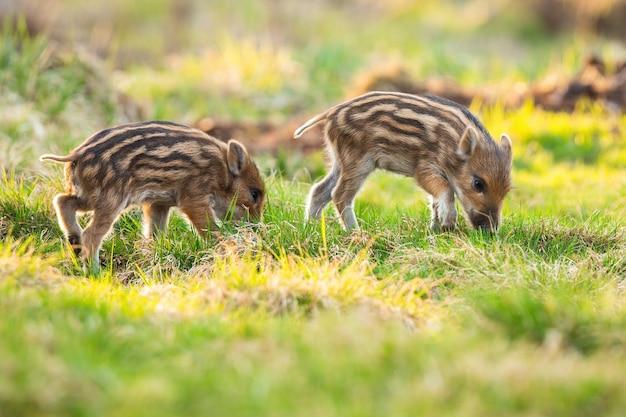 Kleine biggen van wilde zwijnen grazen op grasland in het voorjaar