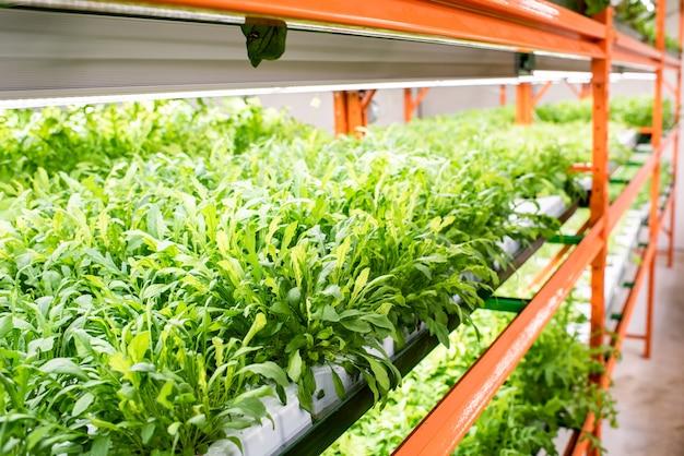 Kleine bladeren van groene zaailingen van tuingroenten groeien op planken van grote hedendaagse serre