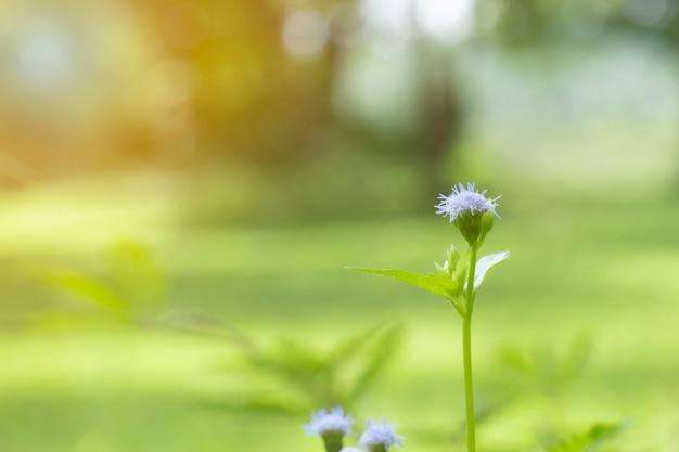 Kleine blauwe en witte bloemen macrofotografie met flare het is een endemische bloem in azië