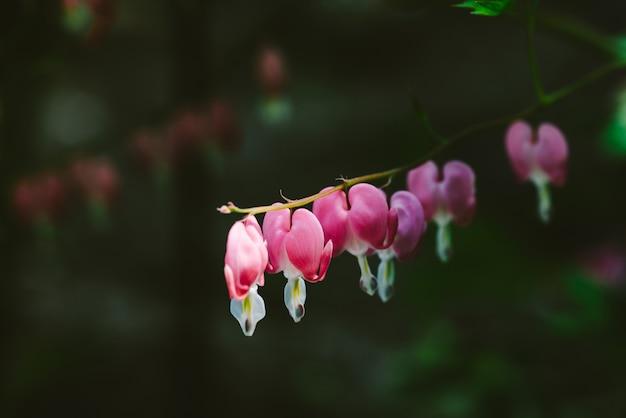 Kleine bloemen van dicentra-spectabilis op één tak tegen dichte omhooggaand.