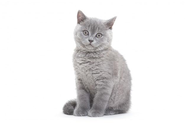 Kleine britse kitten op het witte oppervlak