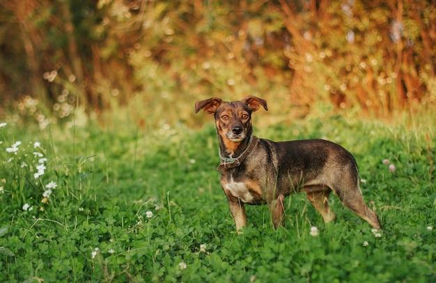 Kleine bruine hond voor een wandeling bij zonsondergang