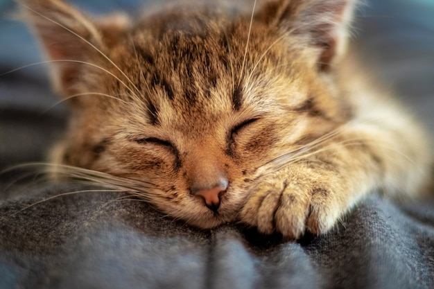 Kleine bruine kitten met gesloten ogen close-up. het kitten slaapt