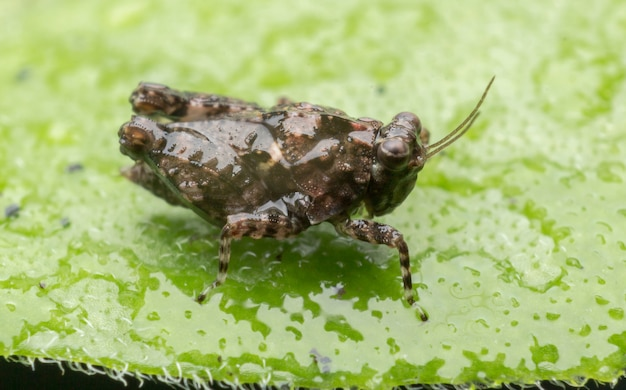 Kleine bruine sprinkhanentribune op het groene blad