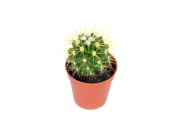 Kleine cactus in een pot.
