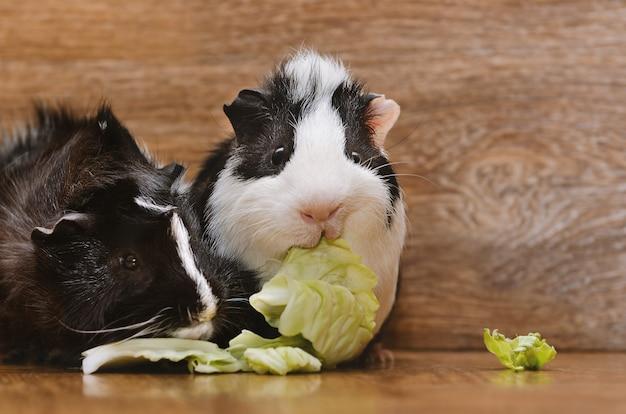Kleine cavia's die koolblad eten