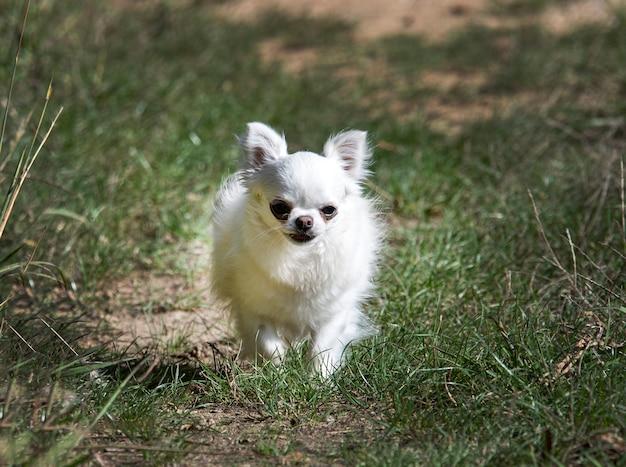 Kleine chihuahua die in de natuur rent