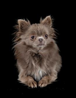 Kleine chihuahua geïsoleerd op zwart