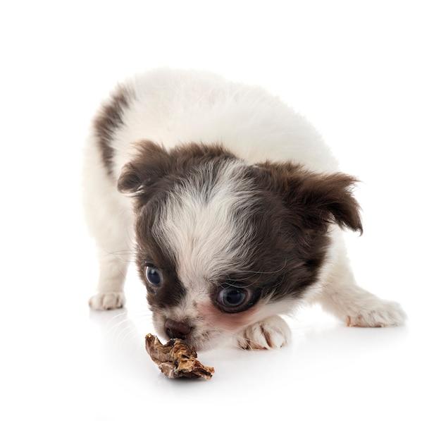 Kleine chihuahua geïsoleerd