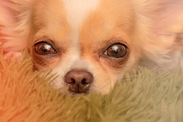 Kleine chihuahua. hond close-up. chihuahuahonden op een deken.