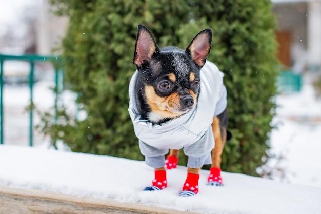 Kleine chihuahua in het park. een hond gekleed in winterkleren en schoenen staat op een houten bankje. huisdier