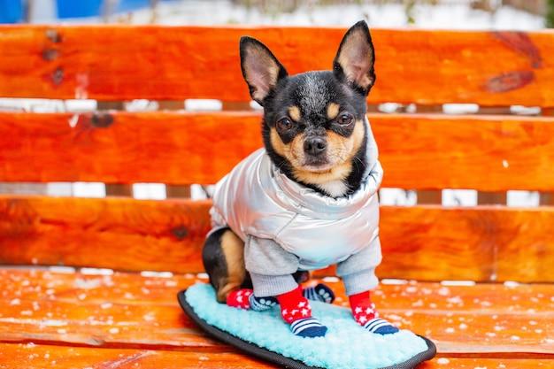Kleine chihuahua in het park. een hond gekleed in winterkleren en schoenen zit op een houten bank. huisdier