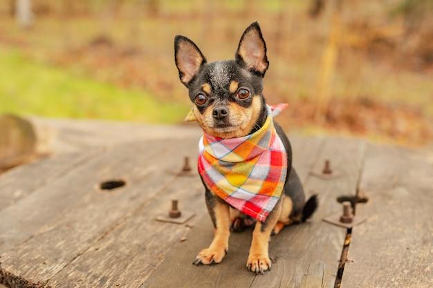 Kleine chihuahua in het park. een hond in een bandana om zijn nek. chihuahua in de herfst. chihuahua.