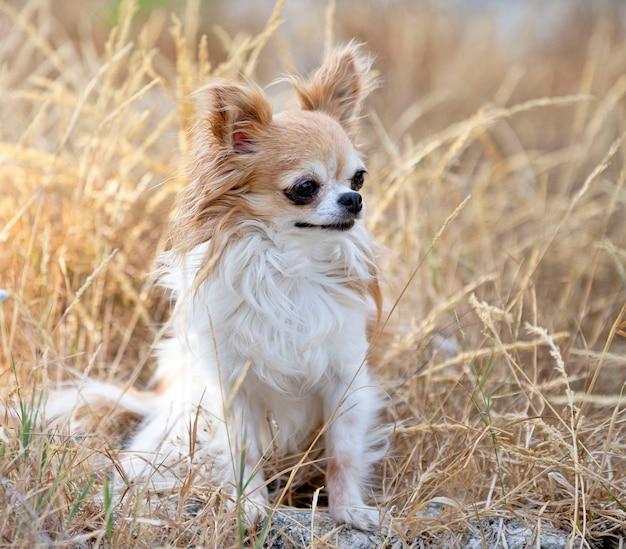 Kleine chihuahua poseren in de natuur in de zomer