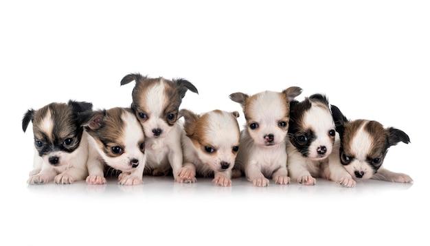 Kleine chihuahua's voor witte achtergrond
