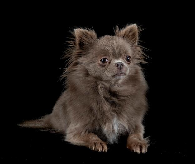 Kleine chihuahua voor wit oppervlak