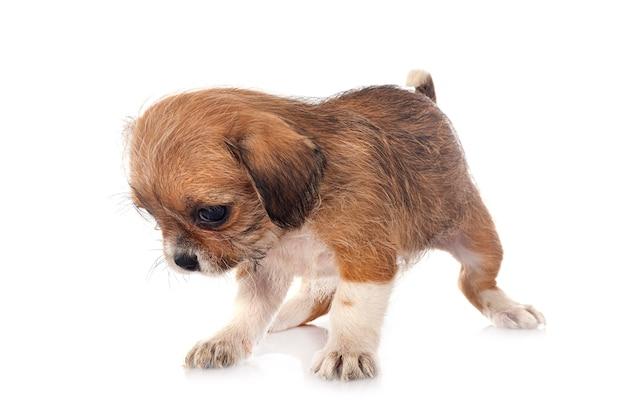 Kleine chihuahua voor witte achtergrond