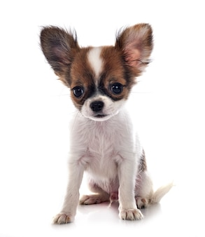 Kleine chihuahua voor witte muur