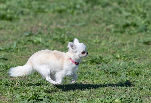 Kleine chihuahua wit uitgevoerd in de natuur