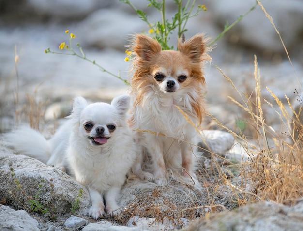 Kleine chihuahuas poseren in de natuur in de zomer