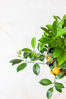 Kleine citrusboom of calamondin met weelderige groene bladeren en fel oranje fruit in een pot