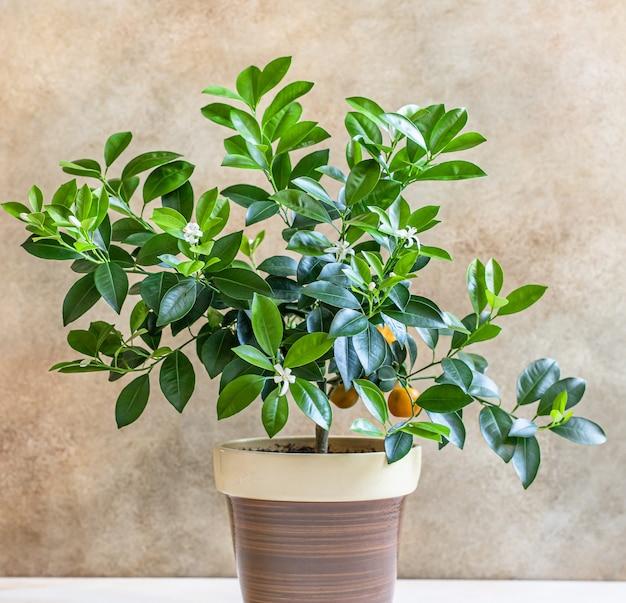 Kleine citrusboom of calamondin sinaasappel mandarijn of mandarijnboom concept van tuinieren