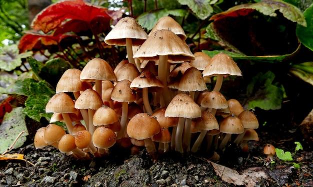 Kleine coprinellus micaceus-paddenstoelen