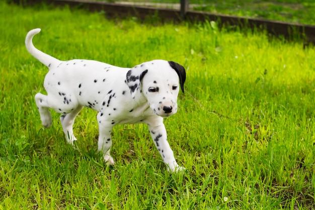 Kleine dalmatische pup van twee maanden oud die buiten in de zomertuin loopt, schattige puppy dalmatiërs