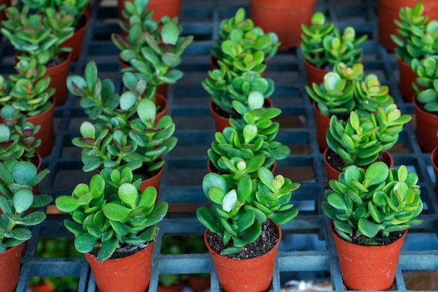 Kleine decoratieve bloempotten met vetplanten. uitzicht van boven. decor met verse bloemen