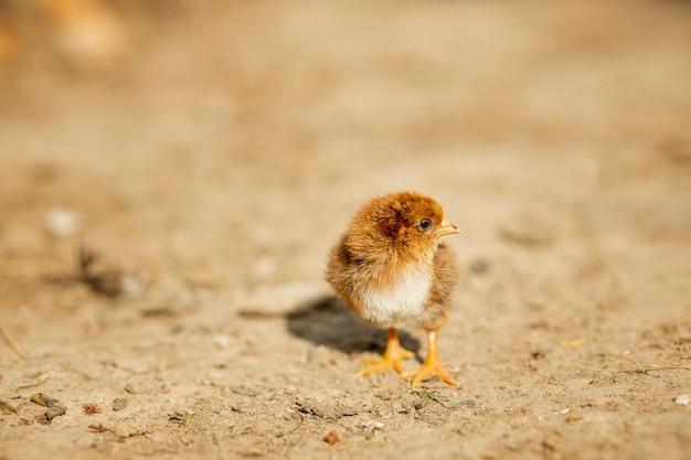 Kleine donzige gele kip die in de tuin van het dorp loopt
