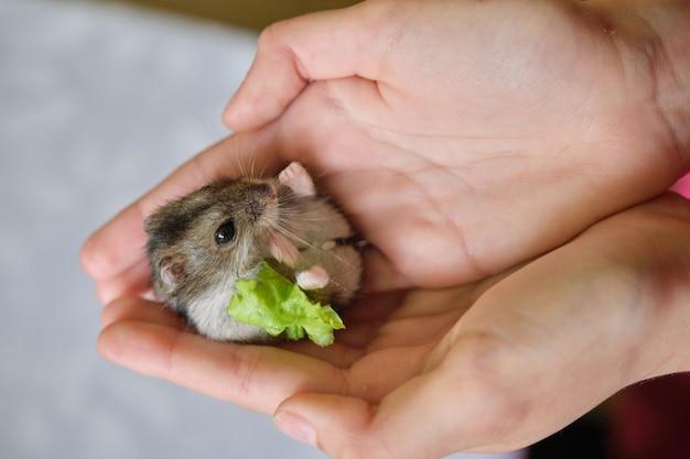 Kleine donzige grijze dzungarian-hamster die groen blad van sla in kindhand eet
